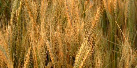 أخنوش:الموسم الفلاحي الحالي سيكون متوسطا بالنسبة لإنتاج الحبوب
