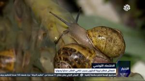 تونسية تترك مهنتها لتربي الحلزون